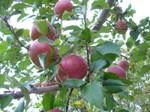 リンゴといえば富士