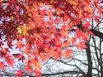紅葉といえばカエデ