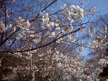 満開近い千葉公園の桜